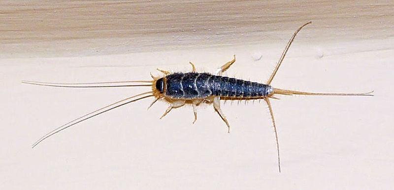 C mo eliminar las lepismas - Eliminar insectos en casa ...