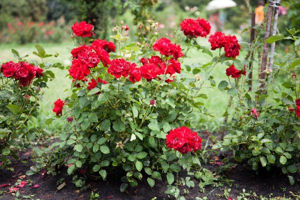 Tips para plantar y trasplantar rosales. Cómo plantar los rosales. técnicas para trasplantar rosas