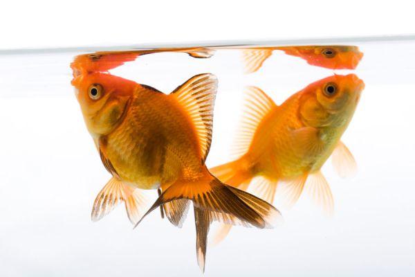 Cómo cuidar los peces dorados o Gold Fish