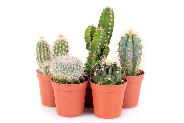 C mo cuidar los cactus for Cactus cuidados interior