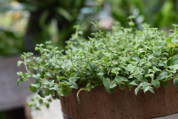 Como cuidar una Planta de Orégano
