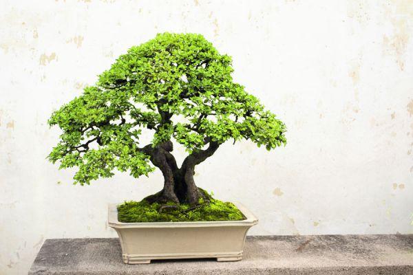 Como y donde ubicar un bons i - Como cuidar un bonsai ...