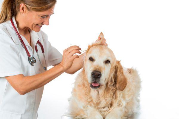 Cómo limpiar las orejas de tu mascota