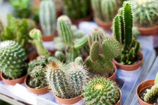 Cómo plantar un cactus y como preparar la maceta