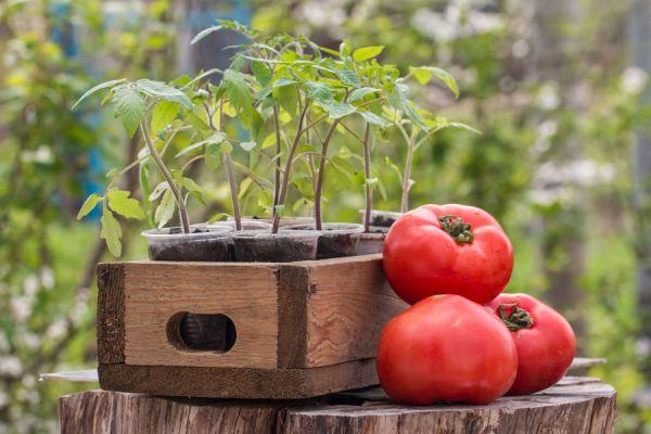 Cómo Sembrar Tomates