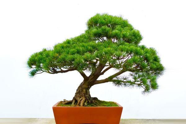 C mo cuidar un bons i - Como cuidar un bonsai ...