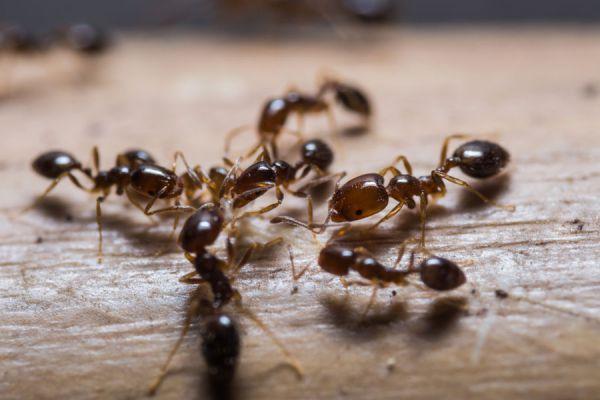 C mo eliminar las hormigas de la casa - Remedios caseros para eliminar hormigas en casa ...