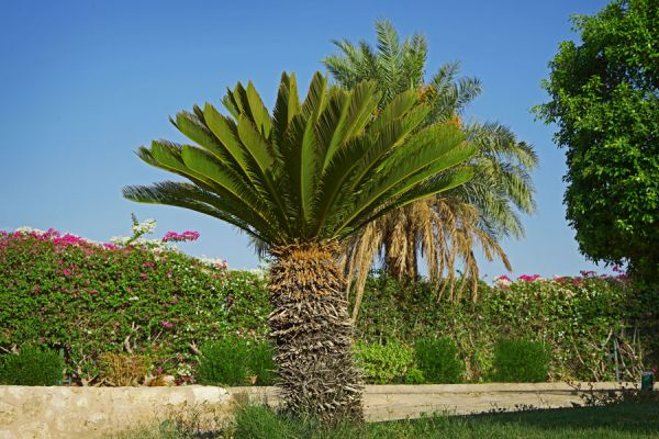 C mo regar y abonar palmeras de exterior for Palmeras de exterior