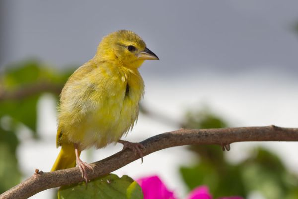 Consejos para tener un canario de mascota. Cuidados de un canario hogareño