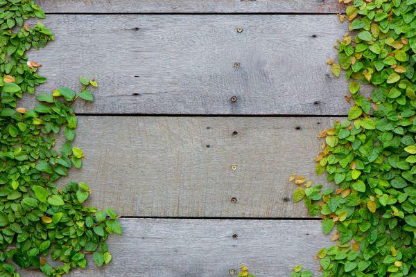 Cuidados de las plantas trepadoras for Plantas trepadoras para muros