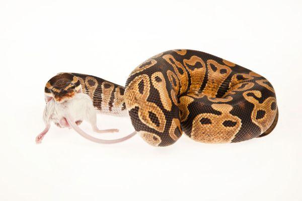 Alimentación de las serpientes de mascota. Cómo alimentar a una serpiente de mascota. Alimentos para serpientes. Qué comen las serpientes de mascota?
