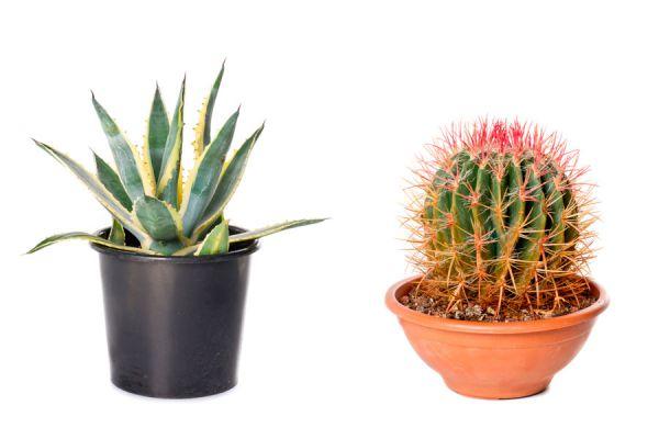 C mo cultivar los cactus for Como plantar cactus