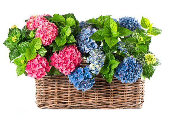 C mo cuidar las hortensias - Como cuidar los arboles frutales ...