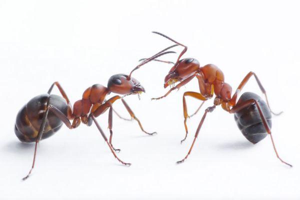 C mo acabar con las hormigas - Como terminar con las hormigas en casa ...