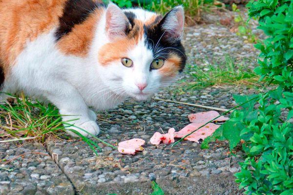 7 alimentos peligrosos para tu gato. Comidas que nunca debes darle a tu gato. Algunos alimentos peligrosos para el felino