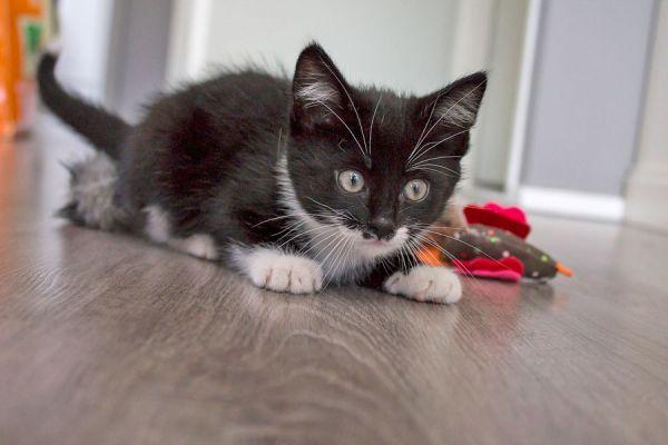 Tips para jugar con el gato. La importancia de jugar con el gato. Claves para jugar con el gato y su importancia.