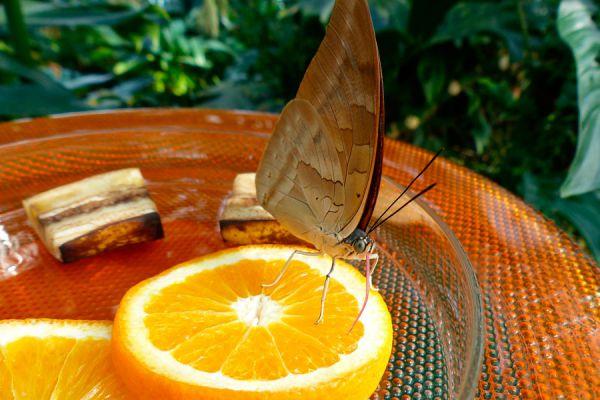 Idea para atraer mariposas al jardín. Cómo atrapar mariposas sin dañarlas. Cómo crear un atrapa mariposas ambientalista