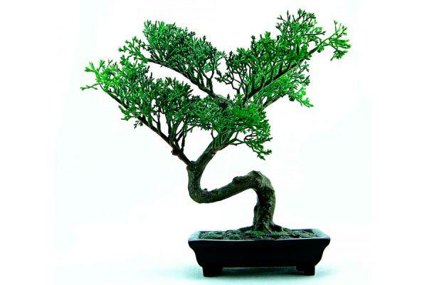 Consejos de mantenimiento de un bonsai. Tips para el cuidado de un bonsai. Cómo cuidar un bonsai en simples pasos