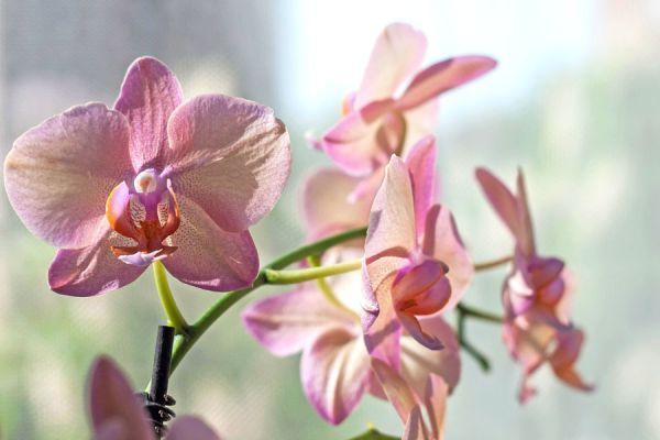 Pasos para cultivar orquídeas en casa. Donde plantar las orquídeas y cómo regarlas. Aprende sobre el cuidado de las orquídeas