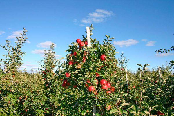 C mo cultivar rboles frutales - Como cuidar los arboles frutales ...