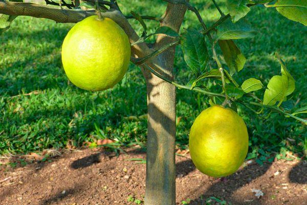 Guía para cultivar plantas frutales. Cómo plantar, elegir y cultivar árboles frutales.