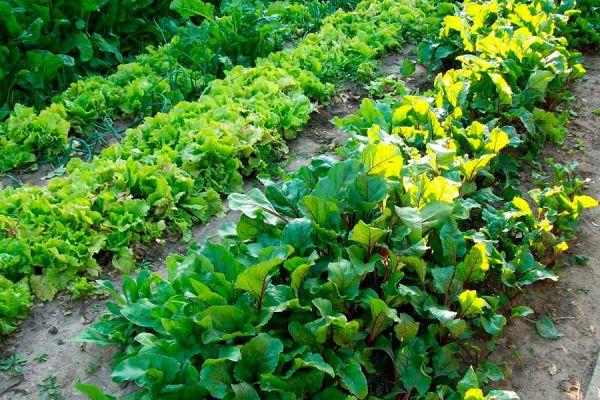 Cómo hacer cultivos en verano. Consejos para cultivar vegetales en verano. qué especies se pueden sembrar en verano?