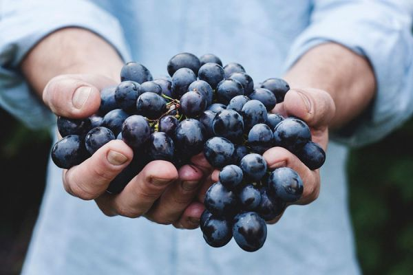 Propiedades y nutrientes de las semillas de uva. Qué beneficios tiene consumir semillas de uva? Nutrientes de las pepitas de uva