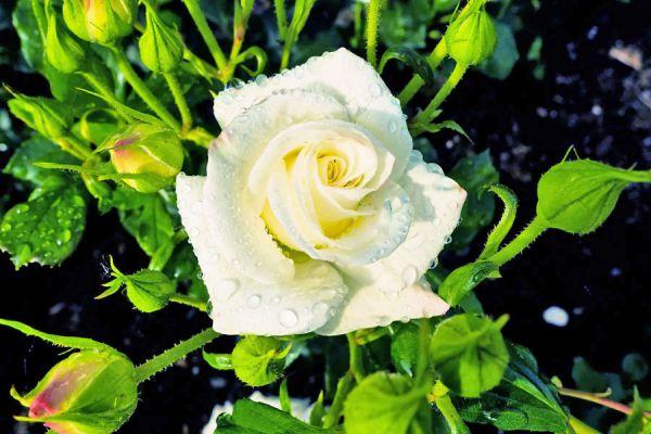 Cómo plantar rosas sin usar semillas. Cómo cultivar rosales desde esquejes. Aprende a cultivar rosas desde el tallo. Cultivo de rosas en una patata