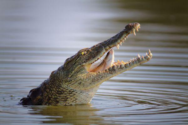 Significado de soñar con cocodrilos. Cómo interpretar los sueños con cocodrilos. Claves para entender los sueños con cocodrilos y yacares