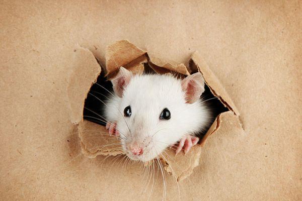 Significado de soñar con ratas. Cómo interpretar los sueños con ratas. Claves para entender los sueños con ratas y otros roedores