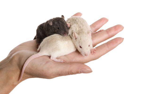 Interpretacion de los sueños: ratas y roedores. El lenguaje de los sueños con ratones. Qué significa soñar con ratas, ratones y roedores