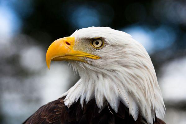 El significado de los sueños con águilas. Qué significa soñar con águilas y nidos. Como interpretar los sueños con águilas