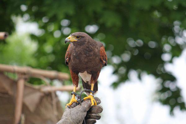 Sueños con águilas, significado y simbolismo. Qué significa soñar con águilas y aves. Significado de soñar con águilas. El lenguaje de los sueños
