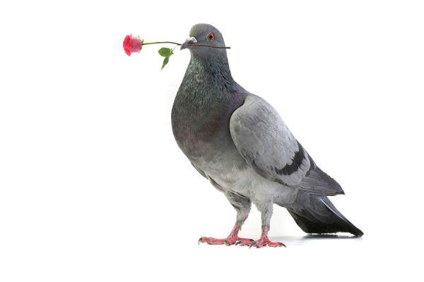 Significado de soñar con palomas. Cómo interpretar los sueños con palomas. Claves para entender los sueños con aves y palomas mensajeras