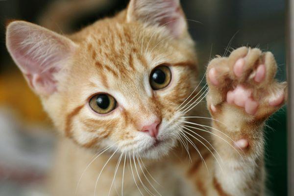Tips para cuidar a un gato. Cómo cuidar a un gato de mascota. Consejos para cuidar a los gatos hogareños. Cómo cuidar a un gato callejero