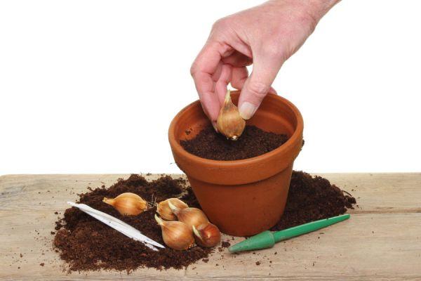 Consejos para sembrar bulbos. Guía para conservar y plantar bulbos en el jardín. Cómo sembrar plantas de bulbos en una maceta