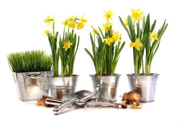 Pasos para enterrar y cultivar bulbos. Cómo cuidar las plantas de bulbos. Tips para plantar bulbos en macetas o canteros. Cuándo se plantan los bulbos