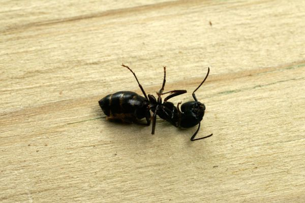 Ingredientes naturales para eliminar hormigas. Cómo ahuyentar las hormigas del hogar. Remedios caseros para eliminar hormigas del hogar