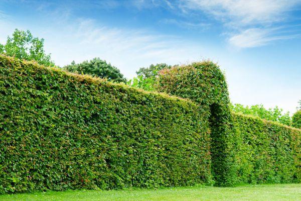 Cómo elegir las mejores plantas para cercos verdes. Especies de plantas para cercos verdes. Plantes para poner en un cerco
