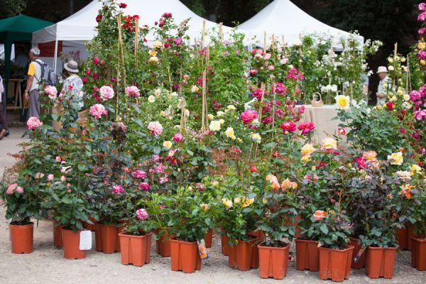 Pasos para plantar rosas en el jardín. Cómo preparar el jardín para plantar un rosal. Cuidados y mantenimiento de un rosal. Plantar rosal en el jardin