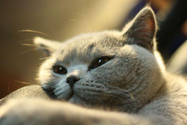 Tu gato se lame demasiado? Qué hacer si tu gato se lame todo el tiempo. Causas por las que el gato se lame mucho
