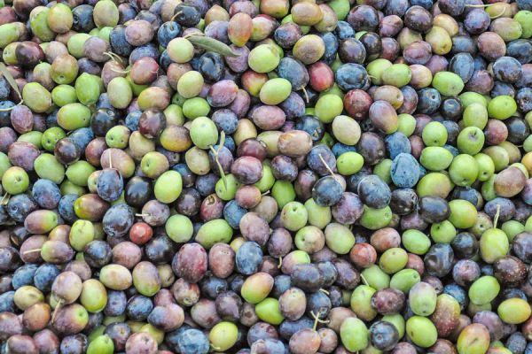 Propiedades de las olivas verdes. Beneficios de consumir aceitunas verdes. Cómo consumir y disfrutar de las aceitunas verdes