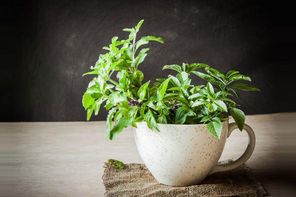 Cómo cuidar una planta de albahaca. Consejos para cultivar albahaca. Tips para el cultivo de albahaca. Consejos para plantar albahaca.