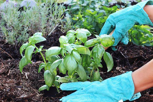 Cómo plantar albahaca. Cómo sembrar albahaca. Consejos para cuidar una planta de albahaca en casa. Tips para cultivar albahaca en casa