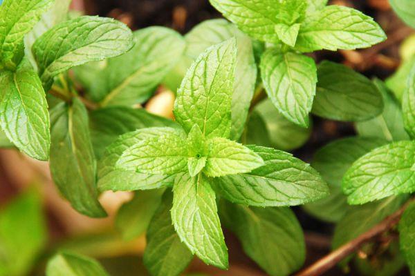 Consejos para cultivar una planta de menta. Tips para plantar menta. Claves para cuidar una planta de menta. Cómo plantar la menta