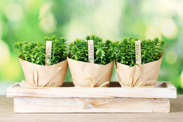 Consejos para cultivar una planta de tomillo. Tips para sembrar tomillo. Cómo cuidar una planta de tomillo. Claves para cultivar tomillo