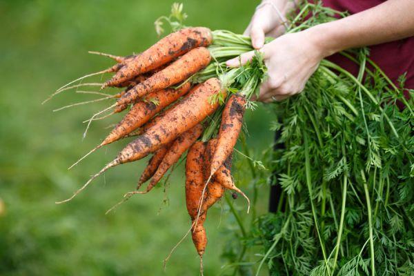 Cultivando zanahorias en un huerto hogareño. Claves para cultivar zanahorias en macetas. Cómo cuidar las zanahorias del huerto casero