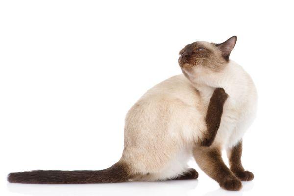 Cómo hacer un antipulgas casero para el gato. Tips para eliminar las pulgas del gato. Consejos para quitarle las pulgas al gato