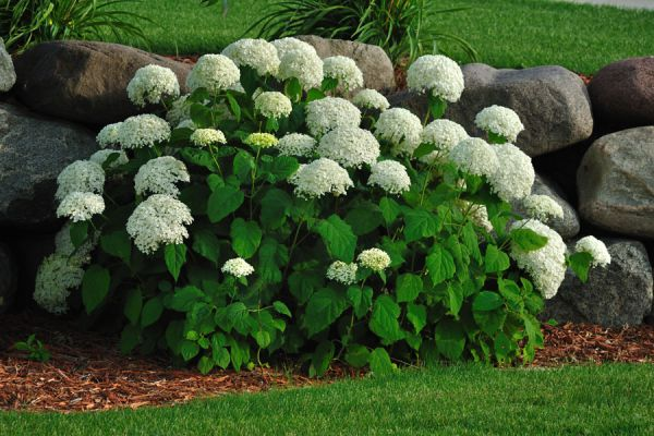 Tips para la poda de las hortensias. Consejos para podar hortensias. Claves para podar hortensias de la manera correcta.