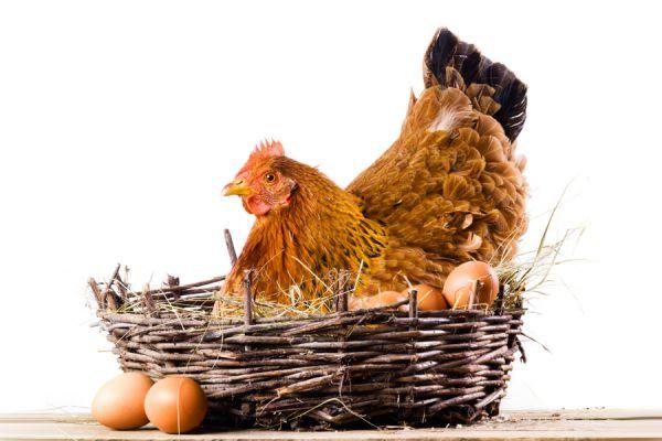 Cómo se producen los huevos astrológicos. Beneficios de los huevos astrológicos. Fases de la luna para producir huevos astrológicos